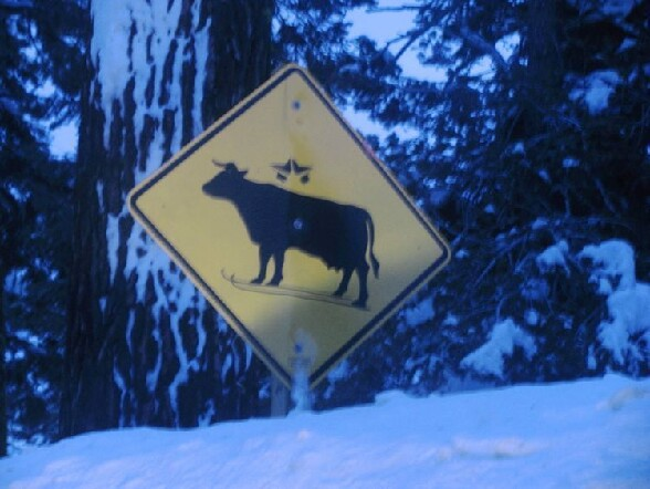 Attention vaches a skis ! - attention vaches a skis